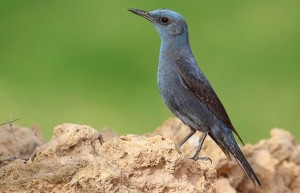 El Blue Rock Thrush o roquero solitario, pájaro nacional de Malta.