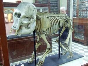 ELefante enano en el museo de Ghar Dalam - Birzebbuga. Foto de The-Cha.